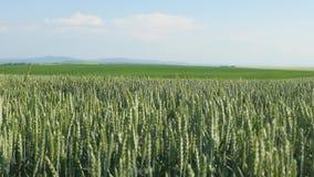 Pszenicznego pola fala Ruszać się lato wiatru niecki natury tłem Obrazy Royalty Free