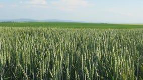 Pszenicznego pola fala Ruszać się lato wiatru niecki natury tłem Zdjęcia Stock