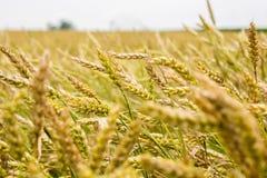 Pszenicznego pola gospodarstwo rolne Obraz Royalty Free