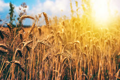 Pszenicznego pola natury wiejska sceneria pod olśniewającym światłem słonecznym Zdjęcia Royalty Free