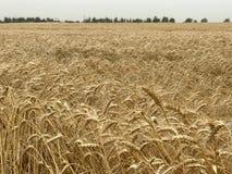 Pszenicznego pola tła rolnictwa złoty żółty naturalny sezonowy pojęcie Zdjęcie Stock
