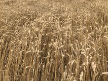 Pszenicznego pola tła shavuot wakacyjnej uprawy rolnictwa złoty żółty naturalny sezonowy concep obrazy stock
