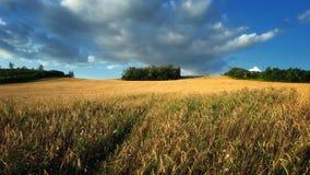 Pszeniczni pola Zdjęcie Royalty Free