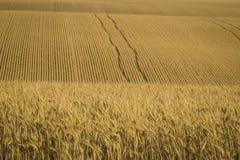Pszeniczni pola przygotowywający dla żniwa, stan washington zdjęcie stock