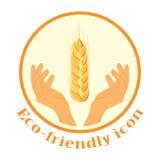 Pszeniczni spikelets w rękach Ikona Rolnicza banatka, symbol, odizolowywający na białym tle Organicznie rolnicze uprawy lub a Fotografia Stock