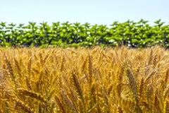 Pszeniczni ucho adra, pełno, na polu przeciw niebu i inny, rośliny Zdjęcia Royalty Free