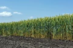 Pszeniczni ucho adra, pełno, na polu przeciw niebu i inny, rośliny Zdjęcia Stock