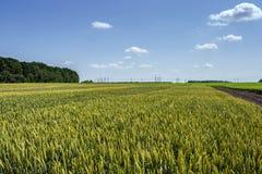 Pszeniczni ucho adra, pełno, na polu przeciw niebu i inny, rośliny Obraz Royalty Free