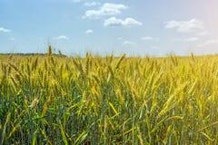Pszeniczni ucho adra, pełno, na polu przeciw niebu i inny, rośliny Zdjęcie Stock