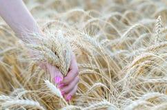 Pszeniczni ucho w ręce, rolnictwo Lata tło, banatka fi Zdjęcie Royalty Free