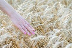 Pszeniczni ucho w ręce, rolnictwo Lata tło, pole Zdjęcie Royalty Free