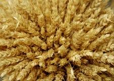 pszeniczni zbóż fotografia royalty free