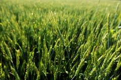 pszeniczni zieleni spikelets Fotografia Royalty Free