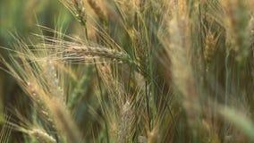 Pszeniczny żyta pole, ucho banatki zakończenie up Żniwo i zbierać pojęcie Pole złoty pszeniczny kiwanie zdjęcie wideo