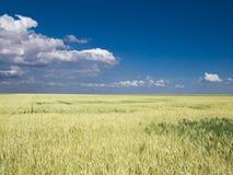 Pszeniczny f ield niebieskie niebo Obraz Stock
