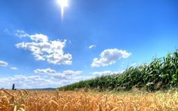 Pszeniczny i kukurydzany pole Zdjęcie Stock