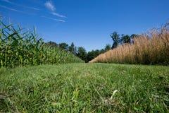 Pszeniczny i kukurydzany pole Zdjęcia Stock