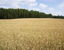 Pszeniczny jęczmienia pole w kraju niebieskiego nieba lesie Obraz Stock