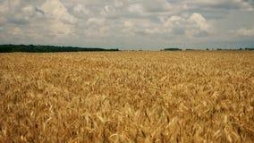 Pszeniczny plantacji pole zdjęcie wideo