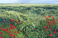 Pszeniczny pole Zdjęcie Royalty Free