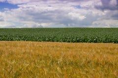 Pszeniczny pole i kukurydzany pole w lecie Fotografia Royalty Free