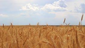 Pszeniczny pole i niebo zdjęcie wideo