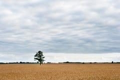 Pszeniczny pole i Osamotniony Zielony drzewo w tle Obrazy Stock