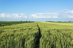 Pszeniczny pole na ładnym letnim dniu, krajobraz rolnicze zbożowe uprawy i niebieskie niebo, Obrazy Royalty Free