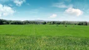 Pszeniczny pole, opóźniona wiosna Zdjęcie Royalty Free
