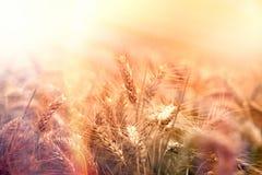 Pszeniczny pole, półmrok w pszenicznym polu, zmierzch w pszenicznym polu obrazy royalty free