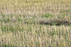 pszeniczny pole pod słońcem, rolnictwo, naturalny tło, adra, chleb zdjęcia stock