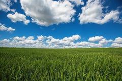 Pszeniczny pole przeciw niebieskiemu niebu z białymi chmurami Rolnictwo scen Obraz Royalty Free