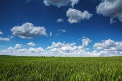 Pszeniczny pole przeciw niebieskiemu niebu z białymi chmurami Rolnictwo scen Obrazy Royalty Free