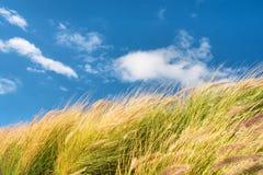 Pszeniczny pole przeciw niebom na wietrznym dniu Obrazy Royalty Free