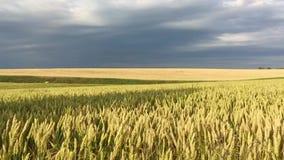 Pszeniczny pole przed deszczem zbiory wideo