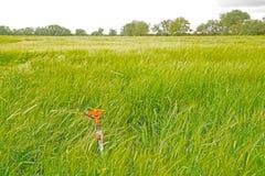 Pszeniczny pole przy wiosną z kropidłem zdjęcie stock