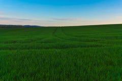 Pszeniczny pole przy świtem Obraz Royalty Free