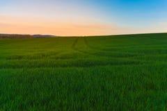 Pszeniczny pole przy świtem Obraz Stock