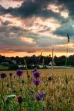 Pszeniczny pole przy zmierzchem z wildflowers Zdjęcia Stock