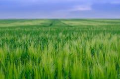 Pszeniczny pole, Ukraina obraz stock