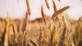 Pszeniczny pole w lato zmierzchu świetle zdjęcie royalty free
