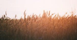Pszeniczny pole w lato zmierzchu świetle fotografia royalty free