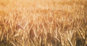 Pszeniczny pole w lato zmierzchu świetle zdjęcia royalty free