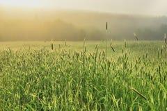 Pszeniczny pole w mgle zdjęcia stock