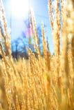 Pszeniczny pole w perfect pogodnym ranku Zdjęcie Stock