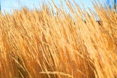 Pszeniczny pole w perfect pogodnym ranku Zdjęcie Royalty Free