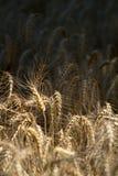 Pszeniczny pole w ranku świetle zdjęcie stock