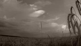 Pszeniczny pole w słońcu