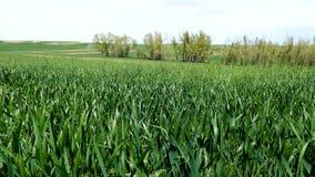 Pszeniczny pole w wiośnie, pszeniczna roślina zaczynał rosnąć, kontynentalny klimat i banatki kultywacja, zbiory