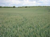 Pszeniczny pole w wsi Obraz Royalty Free